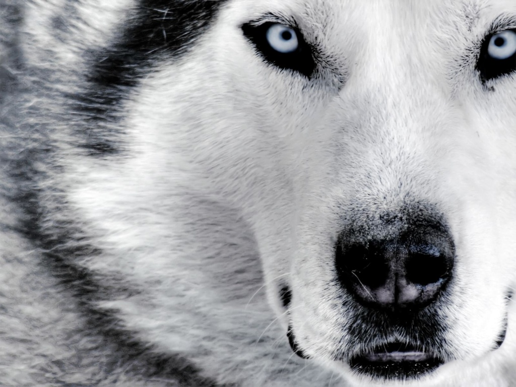 White Wolves with Blue Eyes